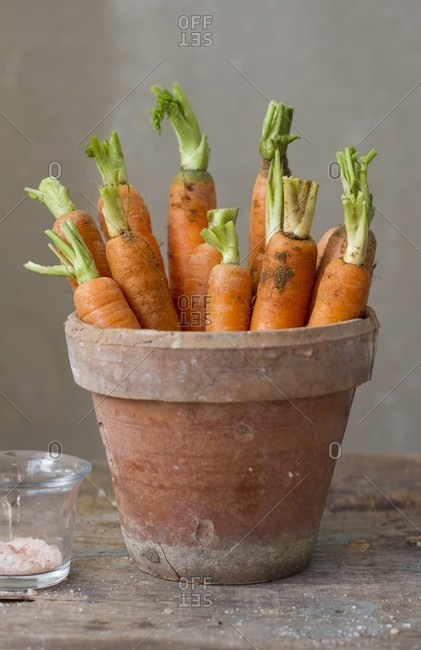 Freshly harvested carrots in a terracotta flowerpot