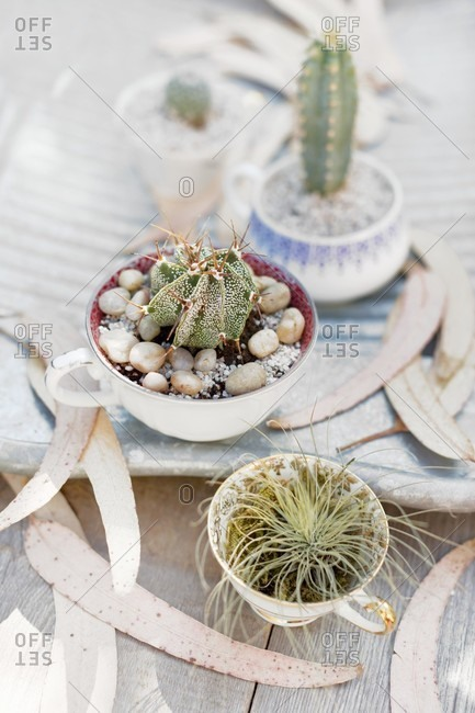 Cacti planted amongst gravel and pebbles in old teacups