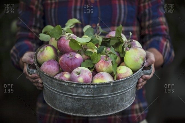 A person holding a zinc tub with freshly harvested apples