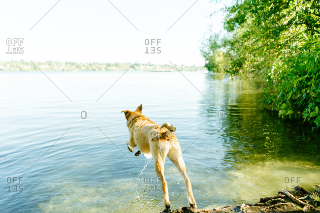 Dog leaping into Green Lake, Seattle, Washington