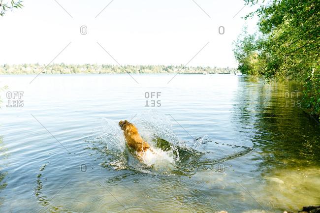Dog jumping into Green Lake, Seattle, Washington
