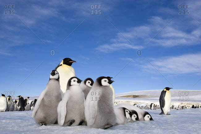 Emperor penguin (Aptenodytes forsteri) and chicks, Snow Hill Island, Weddell Sea, Antarctica, Polar Regions