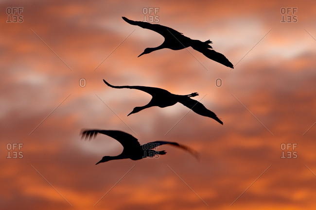 Three Sandhill Cranes (Grus canadensis) in flight silhouetted against red clouds, Bernardo Wildlife Area, Ladd S. Gordon Wildlife Complex, New Mexico, United States of America, North America