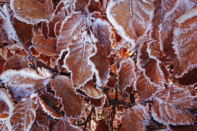 Beech leaves with hoar frost, Swabian Alb, Baden-Wurttemberg, Germany, Europe