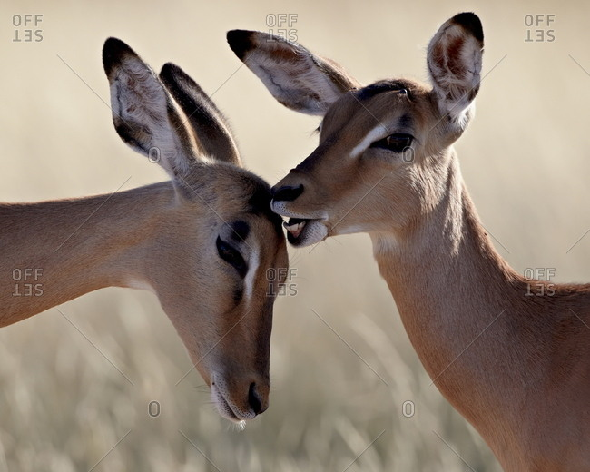 Two young impala (Aepyceros melampus) grooming, Kruger National Park, South Africa, Africa