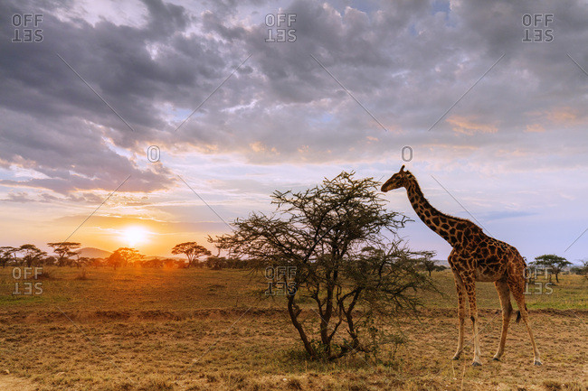 Giraffe (Giraffa camelopardalis) at sunset, Serengeti National Park, UNESCO World Heritage Site, Tanzania, East Africa, Africa