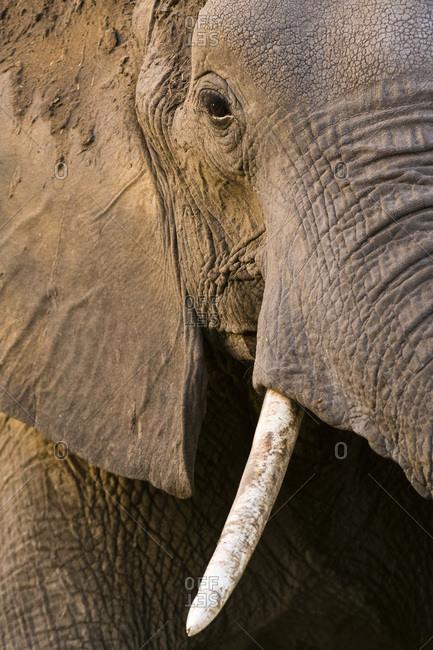 Close-up portrait of an African elephant (Loxodonta africana), Khwai Concession, Okavango Delta, Botswana, Africa