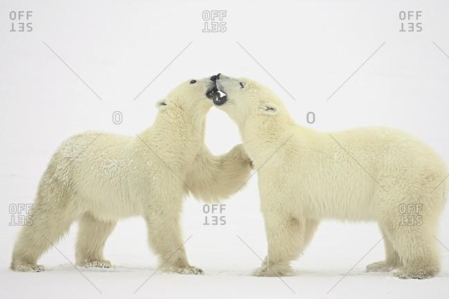 Two polar bears (Thalarctos maritimus) playing, Churchill, Manitoba, Canada, North America