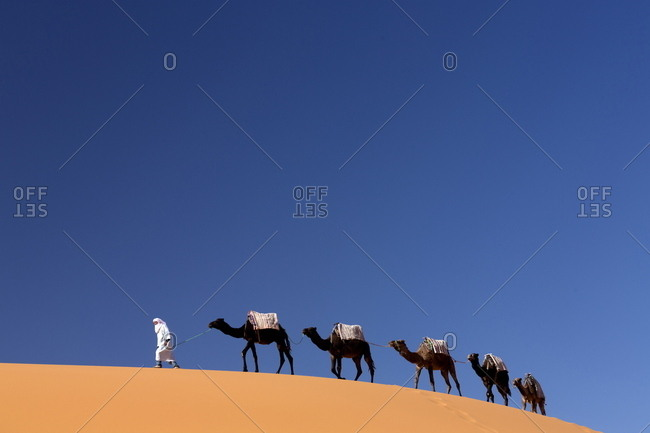 November 18, 2013: Berber man leading a train of camels over the orange sand dunes of the Erg Chebbi sand sea, Sahara Desert near Merzouga, Morocco, North Africa, Africa
