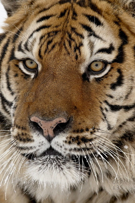 Close-up of captive Siberian tiger (Panthera tigris altaica), near Bozeman, Montana, United States of America, North America