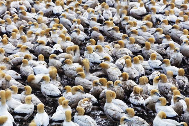 Cape gannet (Morus capensis), Lambert's Bay gannet colony, Western Cape, South Africa, Africa
