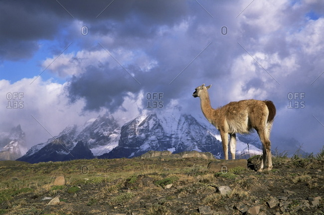 Guanaco (llama) and Cuernos del Paine, Torres del Paine National Park, Patagonia, Chile, South America