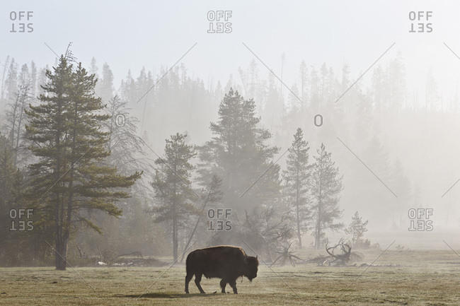Bison (Bison bison) in fog, Yellowstone National Park, UNESCO World Heritage Site, Wyoming, United States of America, North America