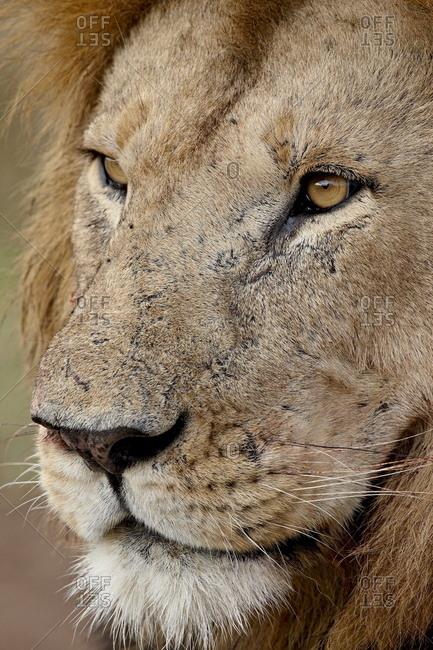 Lion (Panthera leo) up close, Masai Mara National Reserve, Kenya, East Africa, Africa