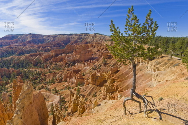 Shallow rooted pine (Limber pine) (Pinus flexilis), at the edge of Bryce Amphitheater, with lots of eroding hoodoos, Sunrise Point, Bryce Canyon National Park, Utah, United States of America, North America