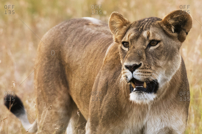 Portrait of a lioness (Panthera leo) in the savannah, Masai Mara, Kenya, East Africa, Africa