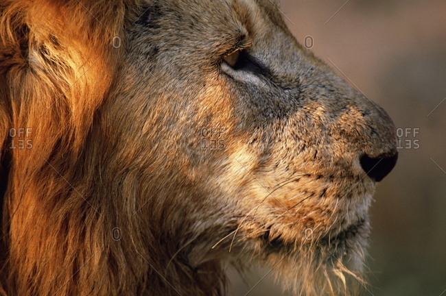 Close-up of a lion (Panthera leo), Mala Mala Game Reserve, Sabi Sand Park, South Africa, Africa