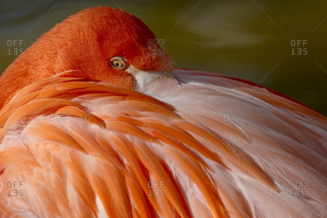Caribbean flamingo (American flamingo (Phoenicopterus ruber ruber) with beak nestled in the feathers of its back, Rio Grande Zoo, Albuquerque Biological Park, Albuquerque, New Mexico, United States of America, North America