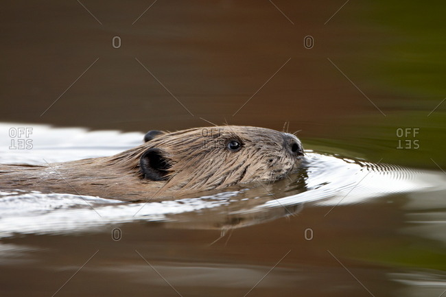 Beaver (Castor canadensis) swimming, Colorado State Forest State Park, Colorado, United States of America, North America