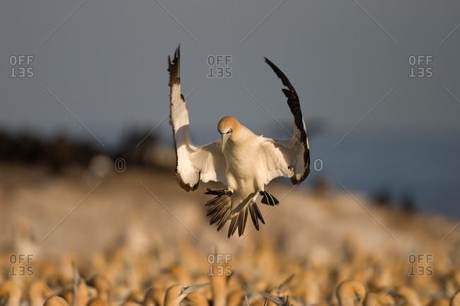 Cape Gannet, (Morus capensis), Bird Island, Lambert' s Bay, South Africa
