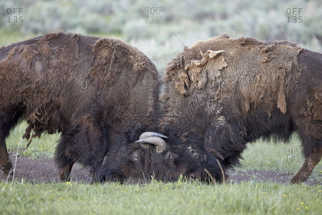 Two Bison (Bison bison) bulls sparring, Yellowstone National Park, Wyoming, United States of America, North America