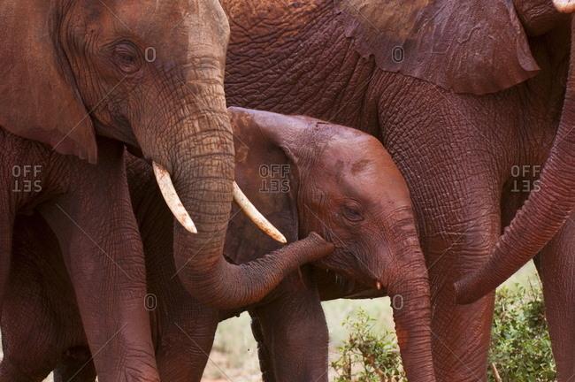 Elephant calf (Loxodonta africana), Tsavo East National Park, Kenya, East Africa, Africa