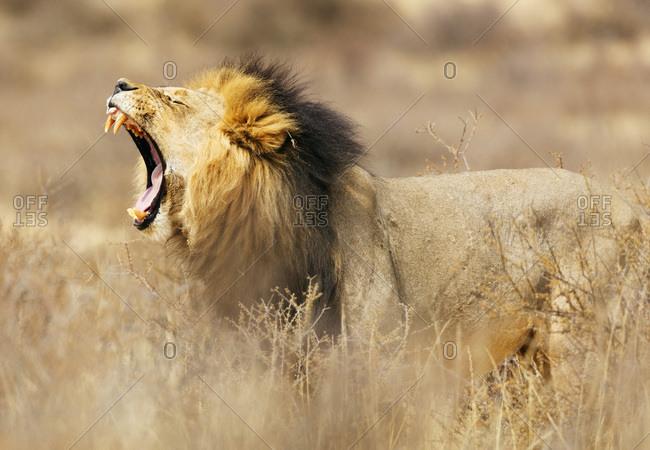 Roaring lion (Panthera leo), Kgalagadi Transfrontier Park, Kalahari, Northern Cape, South Africa, Africa