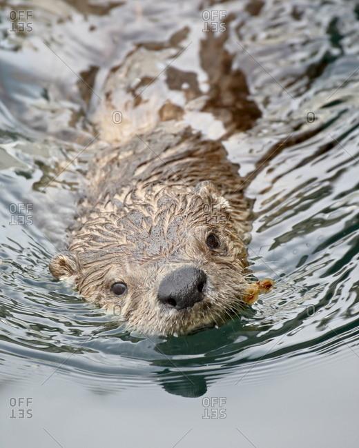 River otter (Lutra canadensis) swimming, near Victoria, British Columbia, Canada, North America