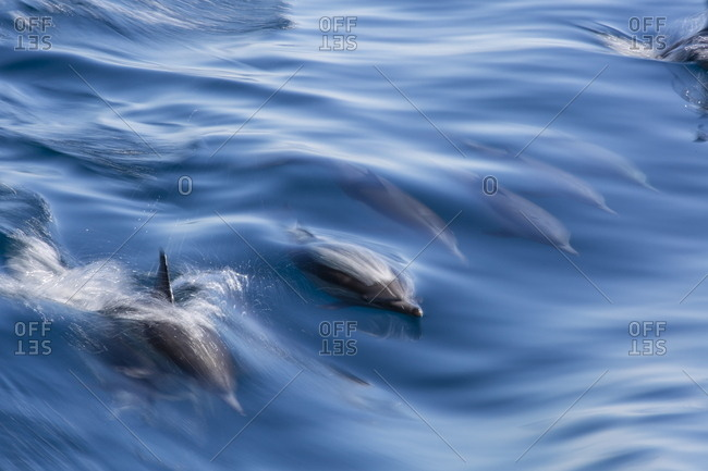 Long-beaked common dolphin (Delphinus capensis), motion blur in ship's wake near Isla Santa Catalina, Baja California Sur, Mexico, North America