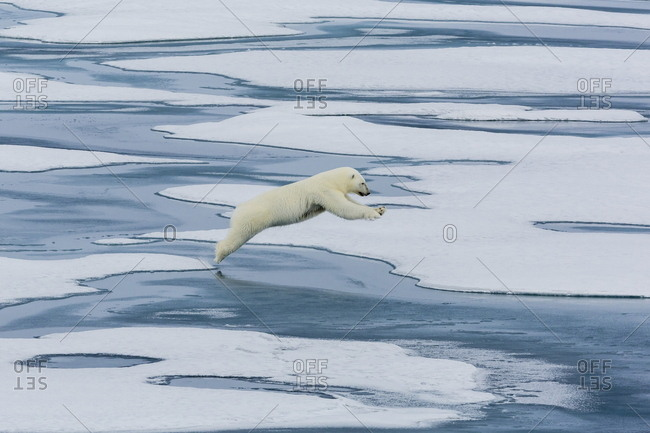 A mother polar bear (Ursus maritimus) leaping between floes in Lancaster Sound, Nunavut, Canada, North America