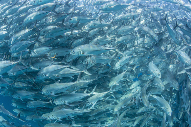 A large school of bigeye trevally (Caranx sexfasciatus) in deep water near Cabo Pulmo, Baja California Sur, Mexico, North America