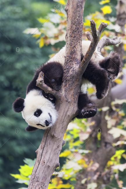 Two year old young Giant Panda (Ailuropoda melanoleuca) climbing on a tree, Chengdu, Sichuan, China, Asia