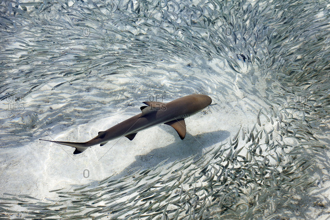 Baby black-tip reef shark being surrounded by a school of silver sprats in a shallow lagoon, Maldives, Indian Ocean, Asia
