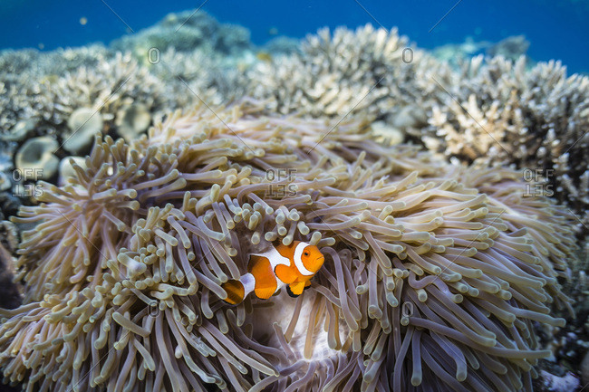False clown anemonefish (Amphiprion ocellaris), Sebayur Island, Komodo Island National Park, Indonesia, Southeast Asia, Asia