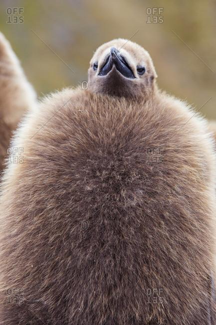 King penguin (Aptenodytes patagonicus), close up of okum boy chick, Gold Harbour, South Georgia, UK Overseas Protectorate, Polar Regions