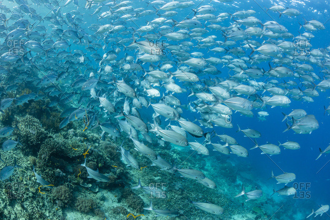 A school of bigeye trevally (Caranx sexfasciatus) on Sebayur Island, Flores Sea, Indonesia, Southeast Asia, Asia
