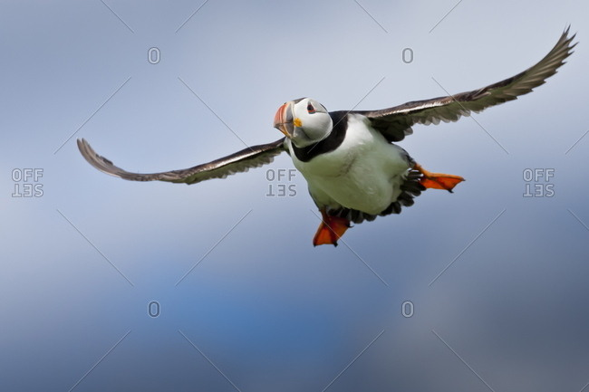 Atlantic puffin (Fratercula arctica) in flight, Inner Farne, Farne Islands, Northumberland, England, United Kingdom, Europe