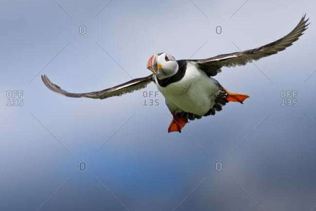 Atlantic puffin (Fratercula arctica) in flight, Inner Farne, Farne Islands, Northumberland, England, United Kingdom, Europe