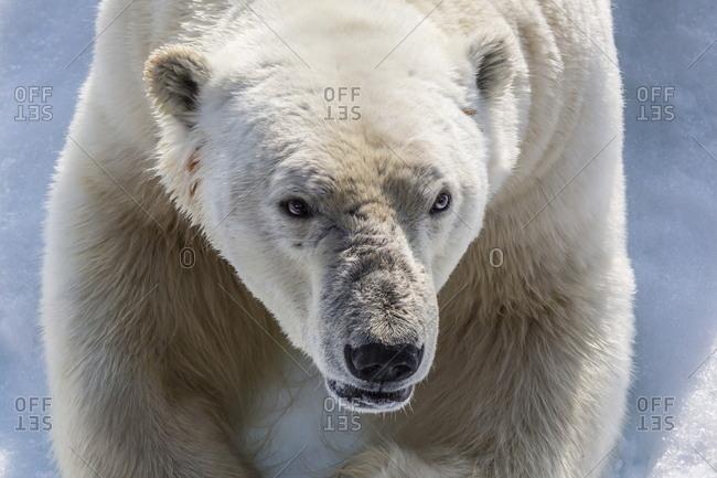 Adult polar bear (Ursus maritimus) close up head detail, Cumberland Peninsula, Baffin Island, Nunavut, Canada, North America