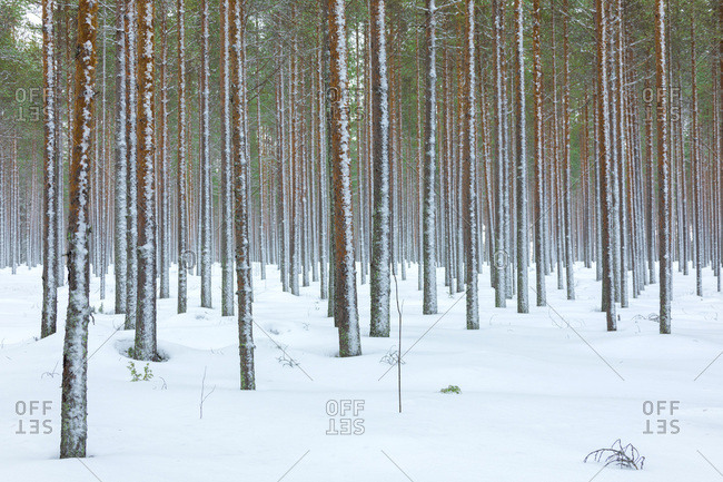 Tree trunks in the snowy woods Alaniemi, Rovaniemi, Lapland region, Finland, Europe