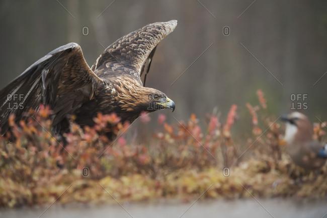 Golden eagle (Aquila chrysaetos), Sweden, Scandinavia, Europe