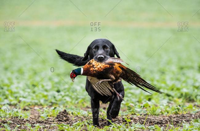 Black labrador gun dog retrieving cock pheasant on a shoot in Wiltshire, England, United Kingdom, Europe