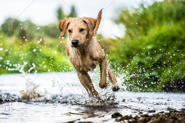 Labrador in water, Oxfordshire, England, United Kingdom, Europe