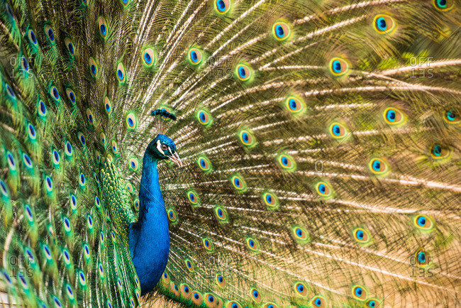 Male peacock displaying, United Kingdom, Europe