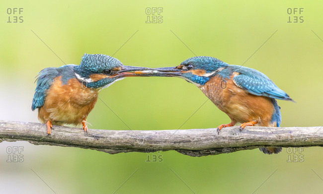 Kingfisher (Alcedo atthis), Yorkshire, England, United Kingdom, Europe