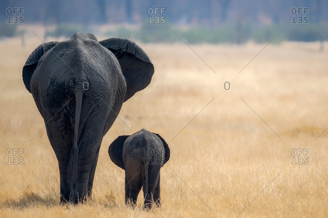 Little and Large, elephant calf and mother, Hwange National Park, Zimbabwe, Africa