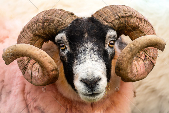 Isle of Mull sheep, Scotland, United Kingdom, Europe