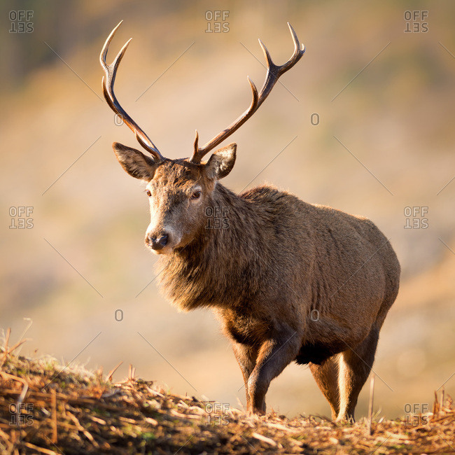 Red deer stag, Glen Etive, Highlands, Scotland, United Kingdom, Europe