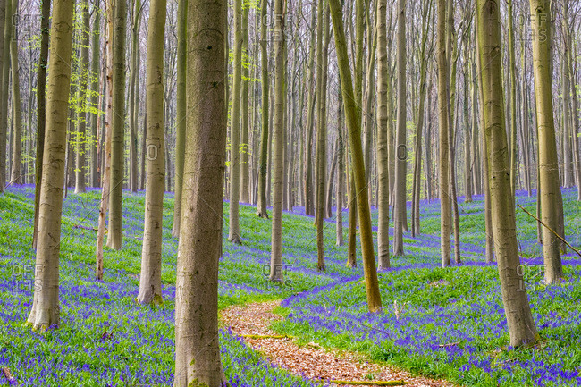 Bluebell flowers (Hyacinthoides non-scripta) carpet hardwood beech forest in early spring, Halle, Vlaanderen (Flanders), Belgium, Europe