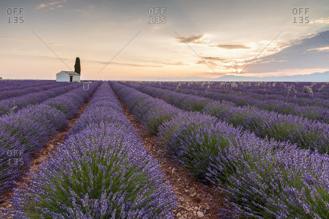 Rural house with tree in a lavender crop at dawn, Plateau de Valensole, Alpes-de-Haute-Provence, Provence-Alpes-Cote d'Azur, France, Europe
